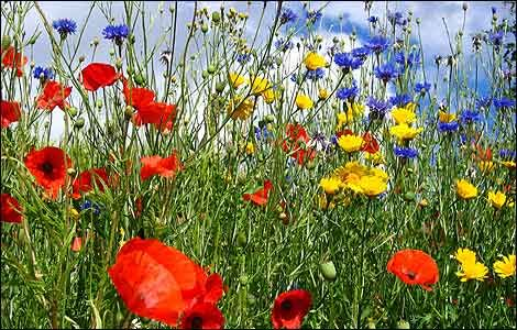 the poppies!Gardens Offices, Wildflowers Meadow, Google Search, Dolly Parton, Poppies, Things, Smoky Mountain, Nature Beautiful, Wild Flowers