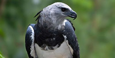 American Harpy Eagle | ... Wallpapers & Facts info: 5 Harpy Eagle Photos, Harpy Eagle Information