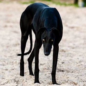 stunning black greyhound