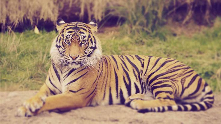 Bengal is that the place wherever tiger is thought to be the royal, that is why they known as The Royal Bengal Tiger.