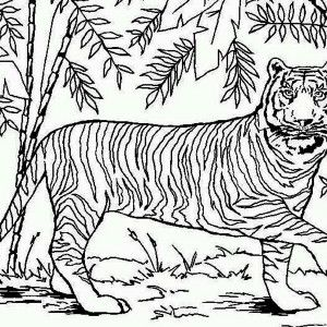 Tiger An Asian Tiger In Bamboo Forest Coloring Page An Asian