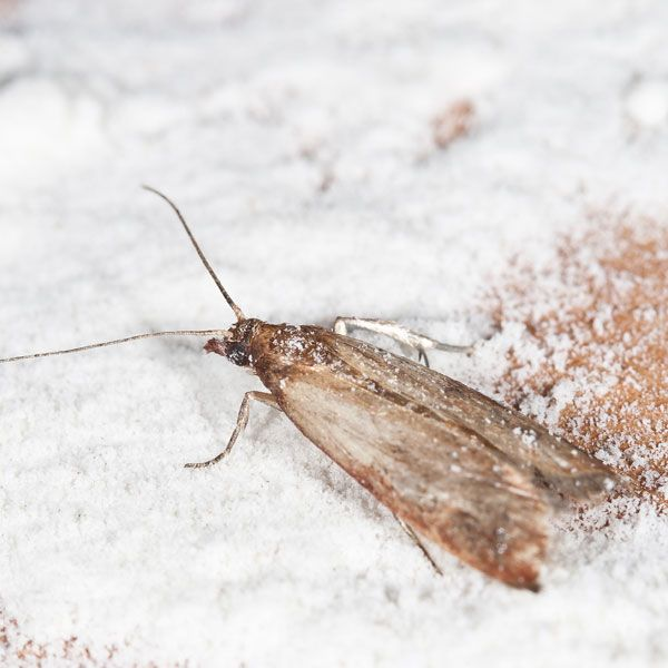 The Indian meal moth (pantry moth) is the most troublesome of the moths infesting stored products in the United States. Learn how to get rid of them here.