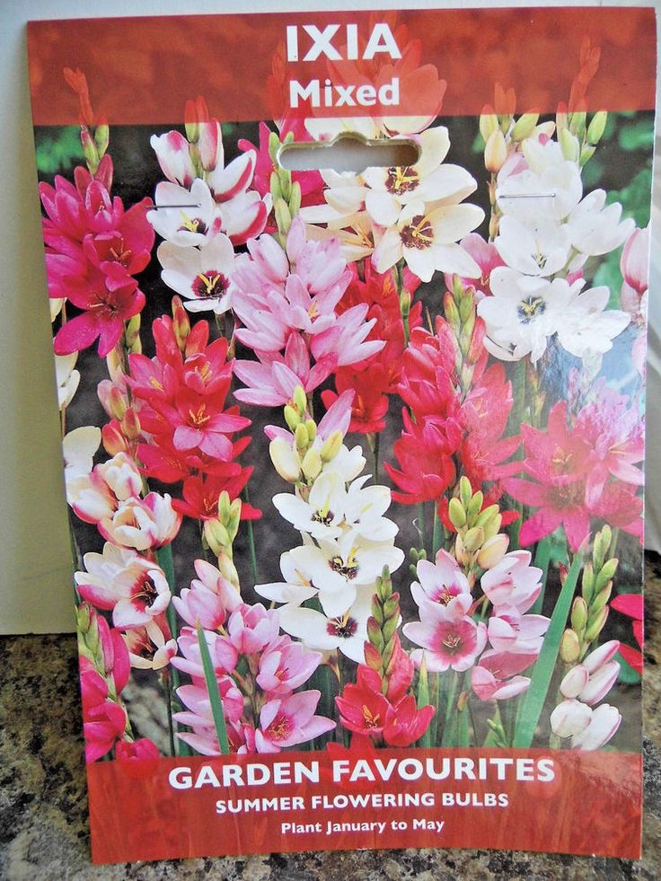 IXIA MIXED Summer Flowering Bulbs #Unbranded