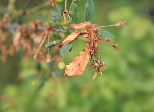 Усыхание веток - признак монилиоза вишни