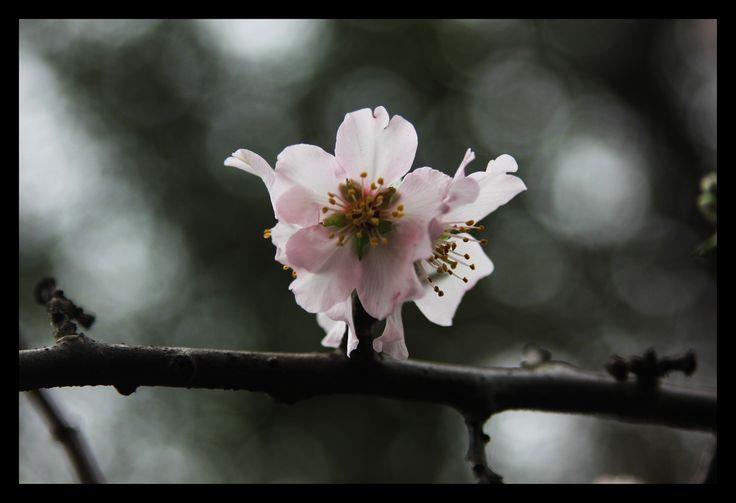 almendro en flor fotografıa manuel gonzalez