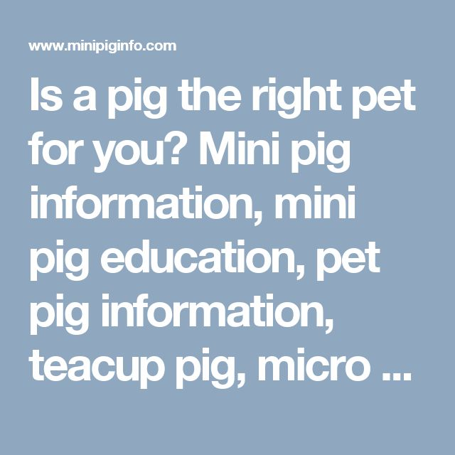 Is a pig the right pet for you? Mini pig information, mini pig education, pet pig information, teacup pig, micro pig, what is it like to have a pet pig, mini pig problems, mini pigs as pets. - Mini Pig Info