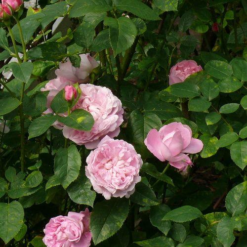 Roser, rosen buske, have, blomster, have indretning, fransk ...