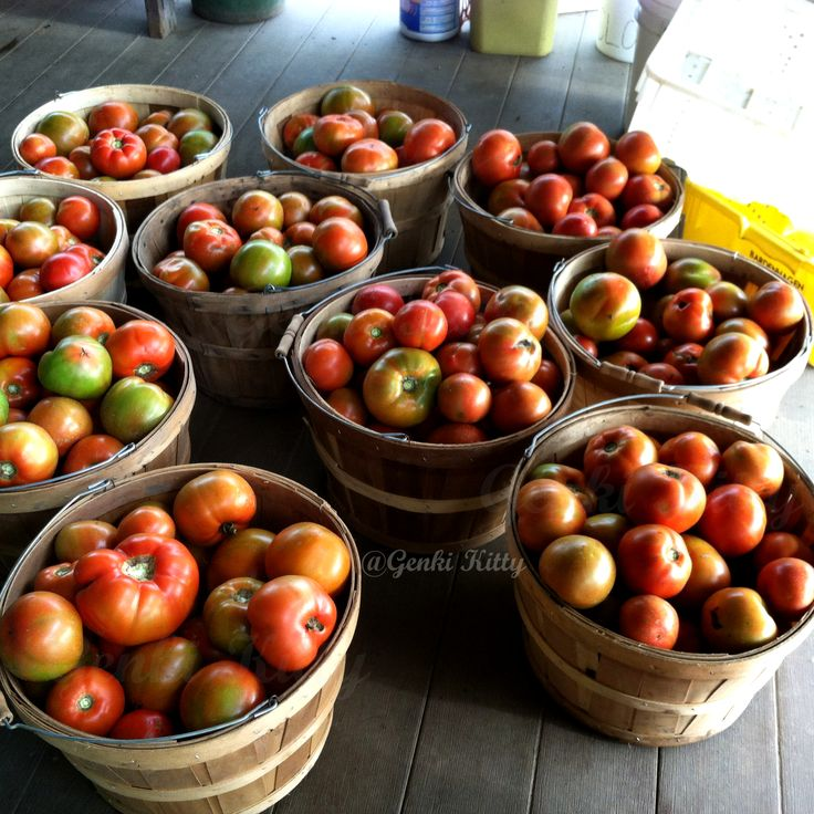 tomato harvest in michigan