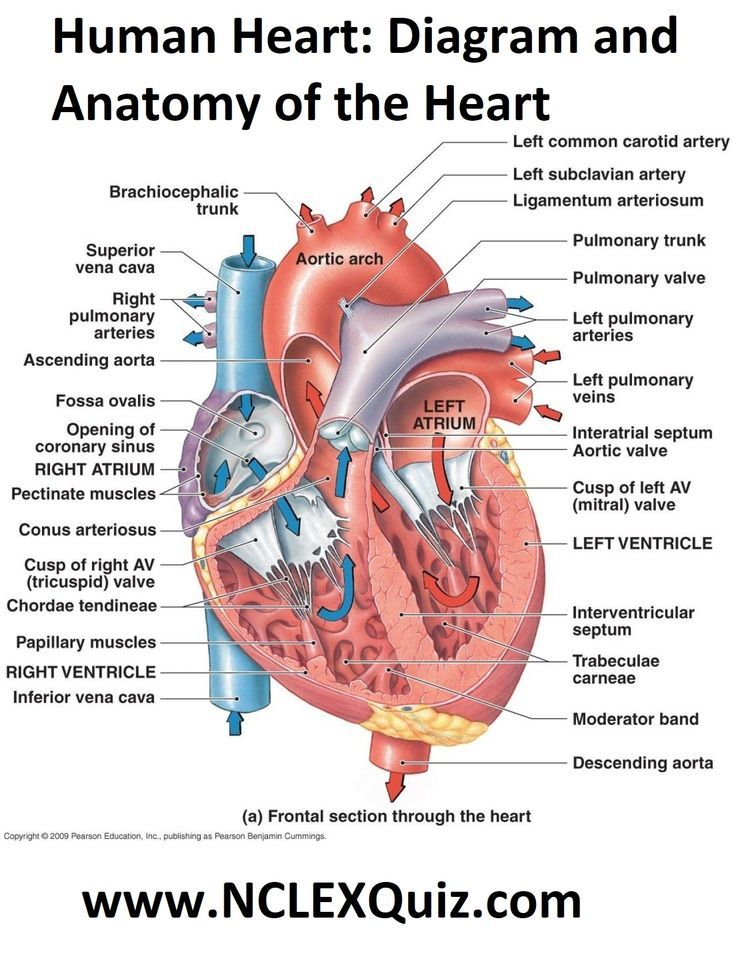 Human Heart Diagram And Anatomy Of The Heart Human Heart Anatomy Heart Anatomy Anatomy And Physiology
