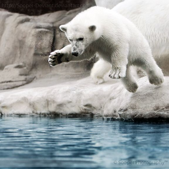 This energetic Polar Bear cub was having a blast diving into the water, over and over again, at the Toledo Zoo in Ohio.