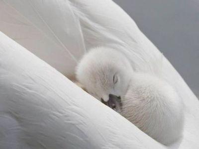 swan babyAnimal Pics, Cute Animal, Funny Pics, Mothers Daughters, Baby Ducks, Sweets Dreams, Sleep Baby, Baby Swan, Animal Photos
