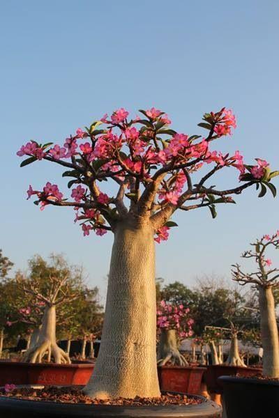 Baobab Bonsai | Bonsai | Pinterest | Babies and Bonsai