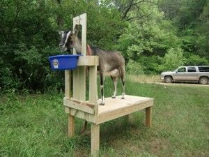 Large Carpenter Build Goat Stanchion Goat Milking Stand