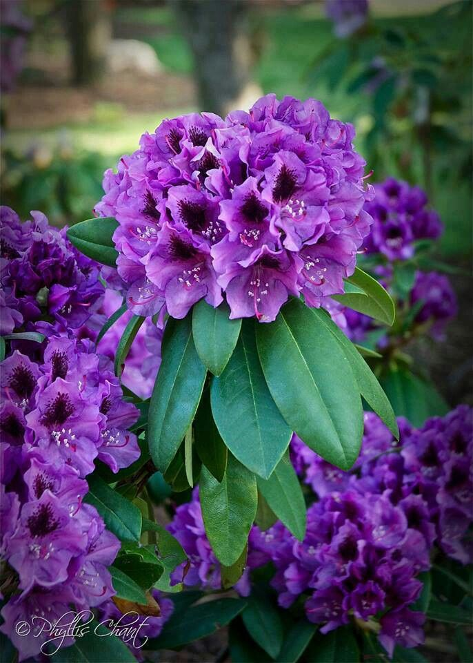 Best 25 purple flowering tree ideas on pinterest for Can you get purple roses