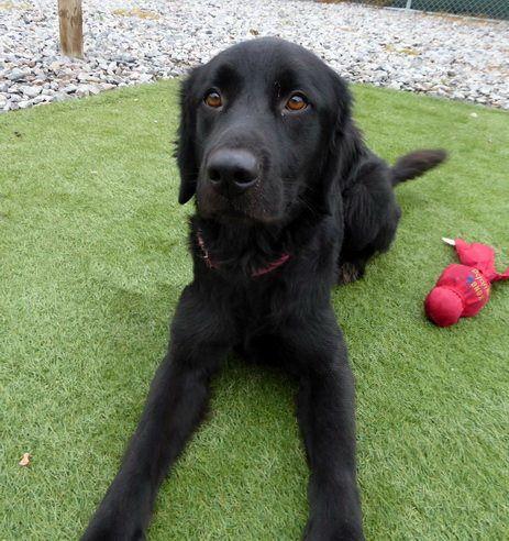 Adopt Smokey 2 On The Perfect Dog Black Labrador Retriever