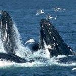 Único en su tipo en el mundo, el Santuario de ballenas del Vizcaíno es el área natural protegida más grande del territorio mexicano.