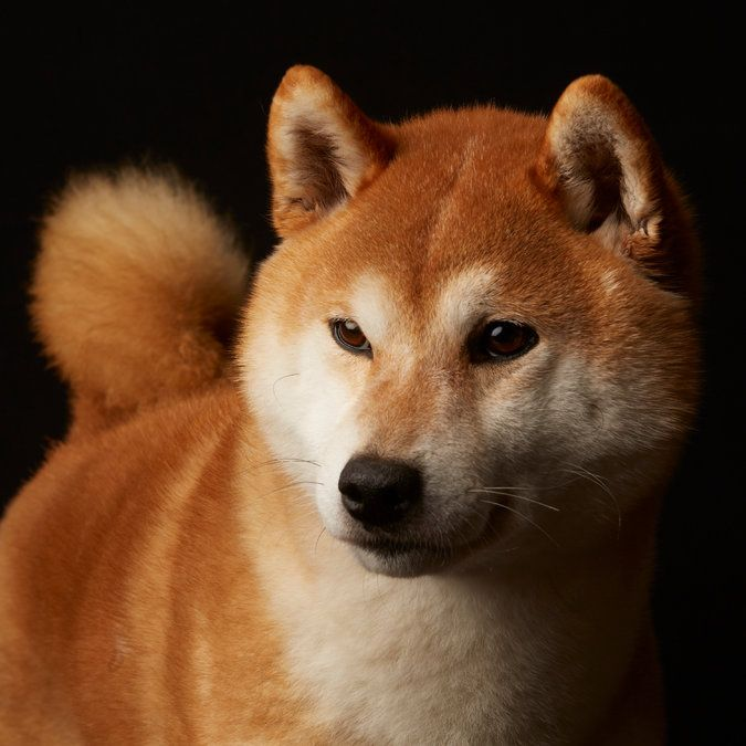 Mr. Jones, a Japanese Shiba Inu | Click to take the Westminster Dog Show Look-Alike Quiz. (Photo: Fred R. Conrad for The New York Times)