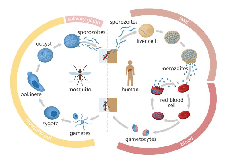 life cycle of malaria parasite biology essay The purpose of this research is to comprehend the life cycle of malaria it is important as it aids researchers in the design and implementation of interventions that can be used to hinder transmission and infection of malaria, and develop respective treatments.