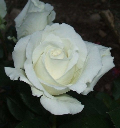 """ Queen Mary 2 "" (Meifaissel) - Hybrid tea rose - Mild to strong, fruity, rose fragrance - Alain Meilland (France), 2004"