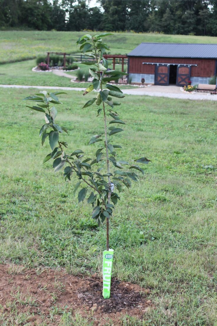 How and when to plant fruit trees