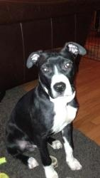 William is an adopted Boxer Dog in Buffalo, NY. William is a 5 month old lab/boxer/pit mix who came to the shelter as a stray. Shortly after arriving there he was diagnosed with a deadly virus known a...