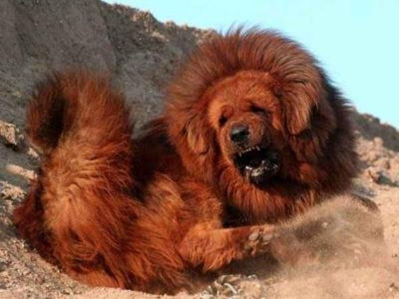 """Tibetan mastiffs 