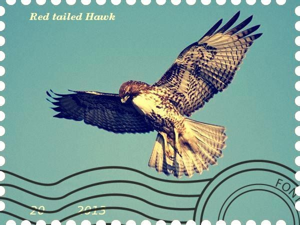 Stampede Beta - Stamp Profile - Red tailed Hawk Photograph by Rich Reid The most common hawk in North America, red-tails can often be seen atop utility poles and other lofty perches, on the lookout for potential prey.