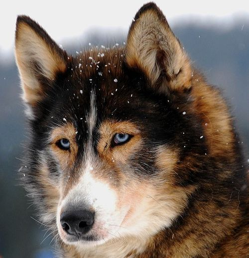 Husky mix how pretty