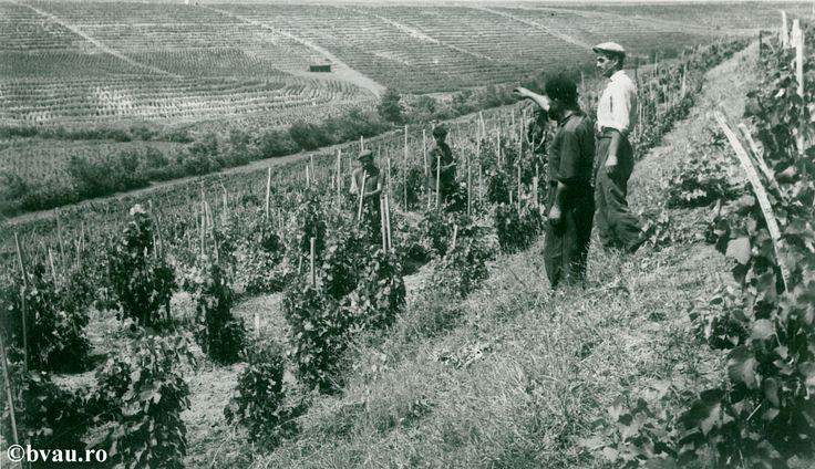 """Terase cu vii la Tuluceşti, anul 1968, Galati, Romania. Imagine din colecțiile Bibliotecii Județene """"V.A. Urechia"""" Galați."""