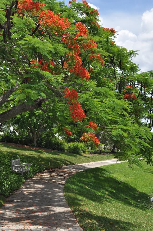 Royal Poinciana Blooming At Mounts Botanical Gardens In West Palm Beach, FL  Which The Martin