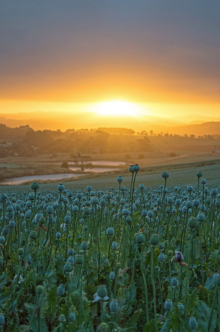 White poppies and sunset - Northwest Tasmania | heneedsfood.com