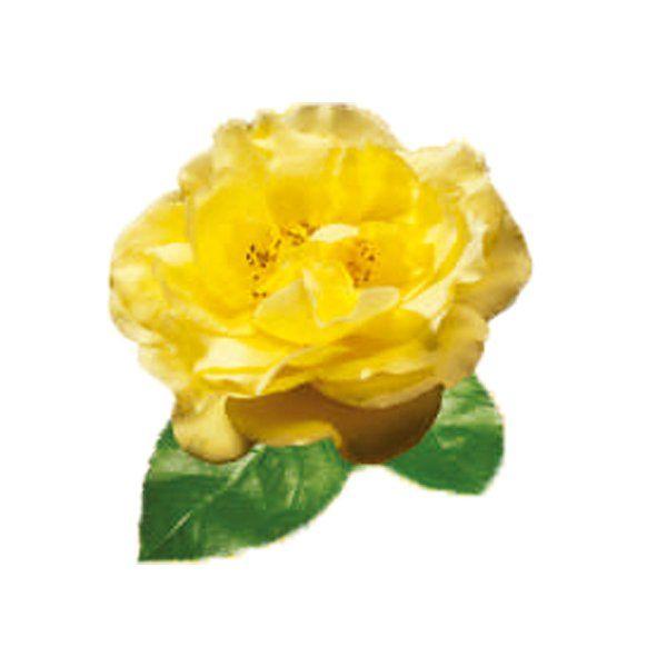 Róża Miniaturowa - Rosa 'Guletta'