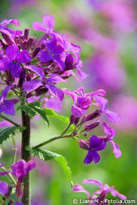 Silberblatt Blüte