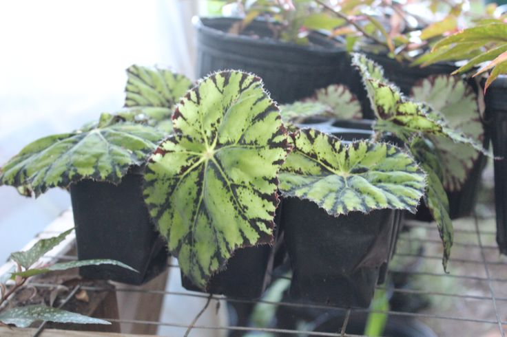 Eyelash Begonia basket
