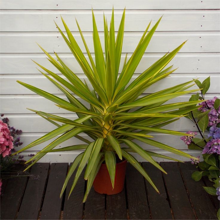 WINTER SALE LARGE Patio Adams Needle Yucca Jewel Palm