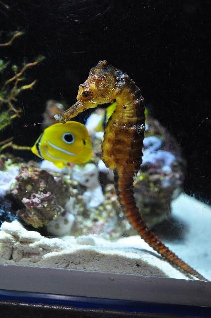 Sea Horse Churaumi Aquarium By Brycewgarner Via Flickr