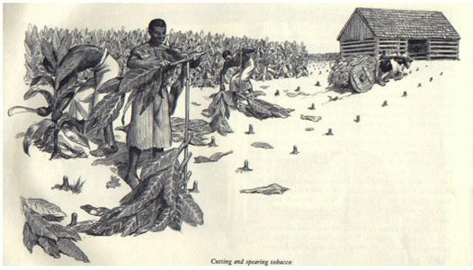 tobacco plantations in...