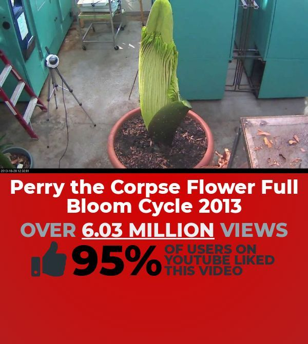 Ready To Watch A Captivating Education Clip To Play This Cool Clip Titled Perry The Corpse Flower Full Bloom Cycle 2013 Educational Videos Bloom Education