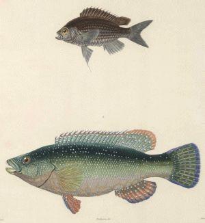 Pisces Chromis Castanea Oudart 1842 Engraving CopperplateStipple M