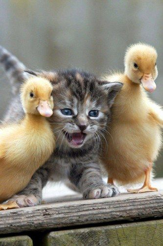 Kitty AND Ducks!