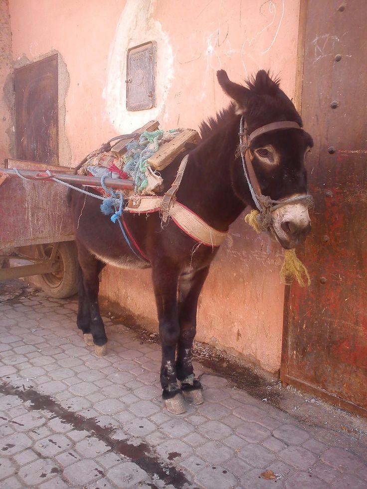 A donkey - Marrakech, Morrocco