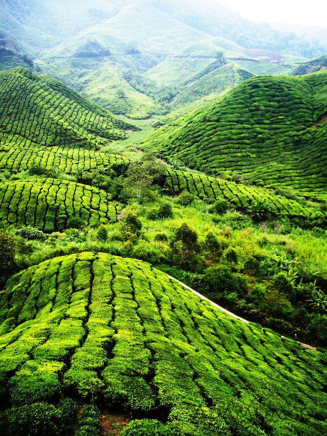 'Tea Plantation, Cameron Highlands, Malaysia' by Adam Lim on 500px