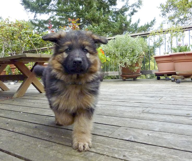This is Arrow, Beth's long-haired German Shepherd puppy.