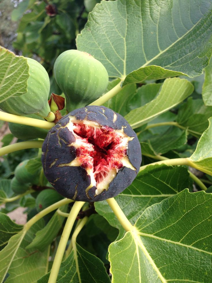 Figs in mallorca