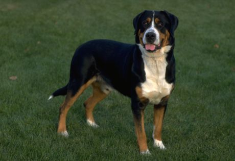 """Greater Swiss Mountain Dog ~ Large, sturdy and confident, the Greater Swiss Mountain Dog (GSMD or """"Swissy"""") is a draft and drover breed - robust and agile enough to perform farm work in very mountainous regions. As a working dog, Swissies like having a job to do and enjoy participating in hiking, carting, obedience trials, herding, weight pulling, and backpacking with their owners. The breed's short, dense coat is black with symmetrical rust and white markings."""