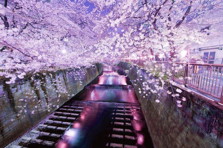 Ciliegi in fiore lungo il fiume
