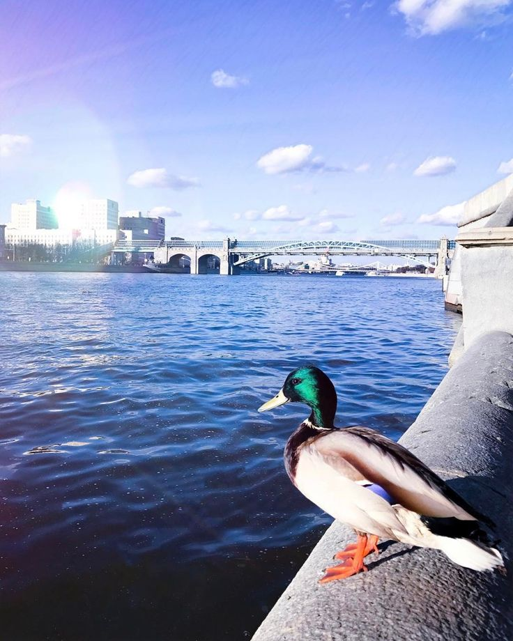 Вы думаете это селезень? Это личность!  #animals #animal #duck #duckface #msk #mskpit #mskfoto #mskfoto #water #watercolour #wonderful_places #beautifuldestinations #lifeofadventure  #picoftheday #ig_europe #magic #magical #magicmoments #travel #travelpics #travelingram #animalgram