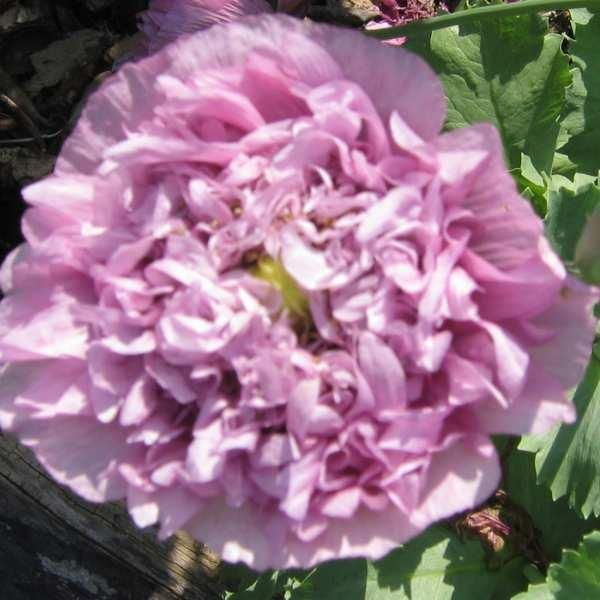 Valmue, Opiums- 'Double Purple' <br><i>Papaver somniferum</i>