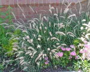 Ornamental Grasses Photo GalleryIdeas, Colostate Edu Lot, Grass 11117, 11117 Bytes, Gardens Patios Outdoor, Fountain Grass, Ornaments Grass, Grass Photos, Yards