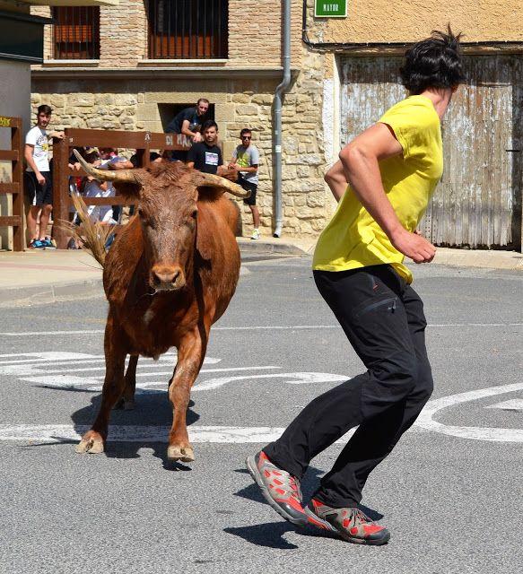 Santacara: Vacas de Pedro Dominguez Año 2015 (15)